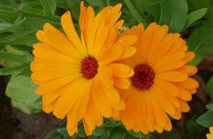 Blume Calendula